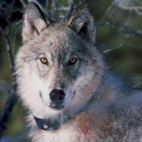 Animal Visit with Big Run Wolf Ranch