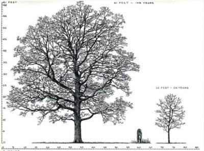 Inspired by Tony Tyznik: Drawing Oaks