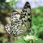 Photographing Rare Butterflies