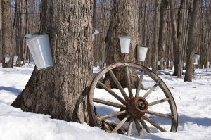 1890s Living: Maple Sugaring