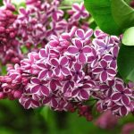Lilac Heritage Tours of Lilacia Park