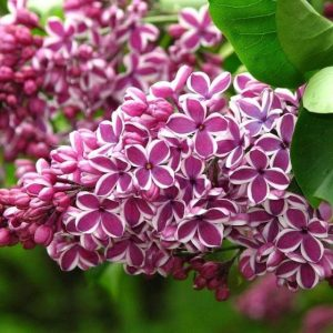 Lilac Heritage Tours of Lilacia Park